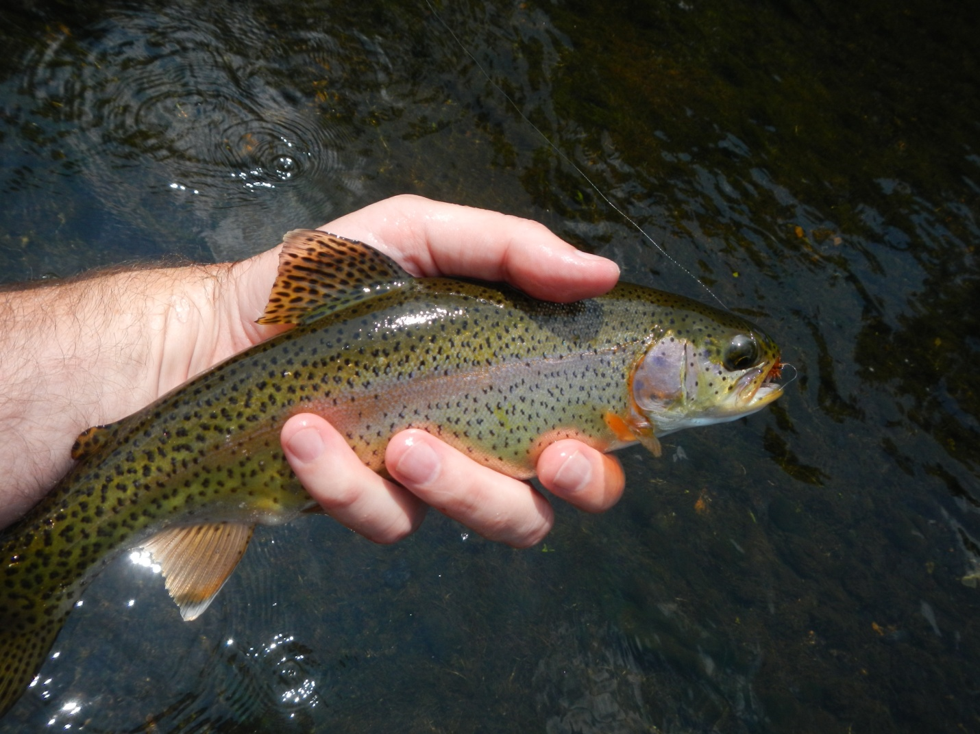 Fly fishing in north alabama huntsville outdoors for Fishing in alabama