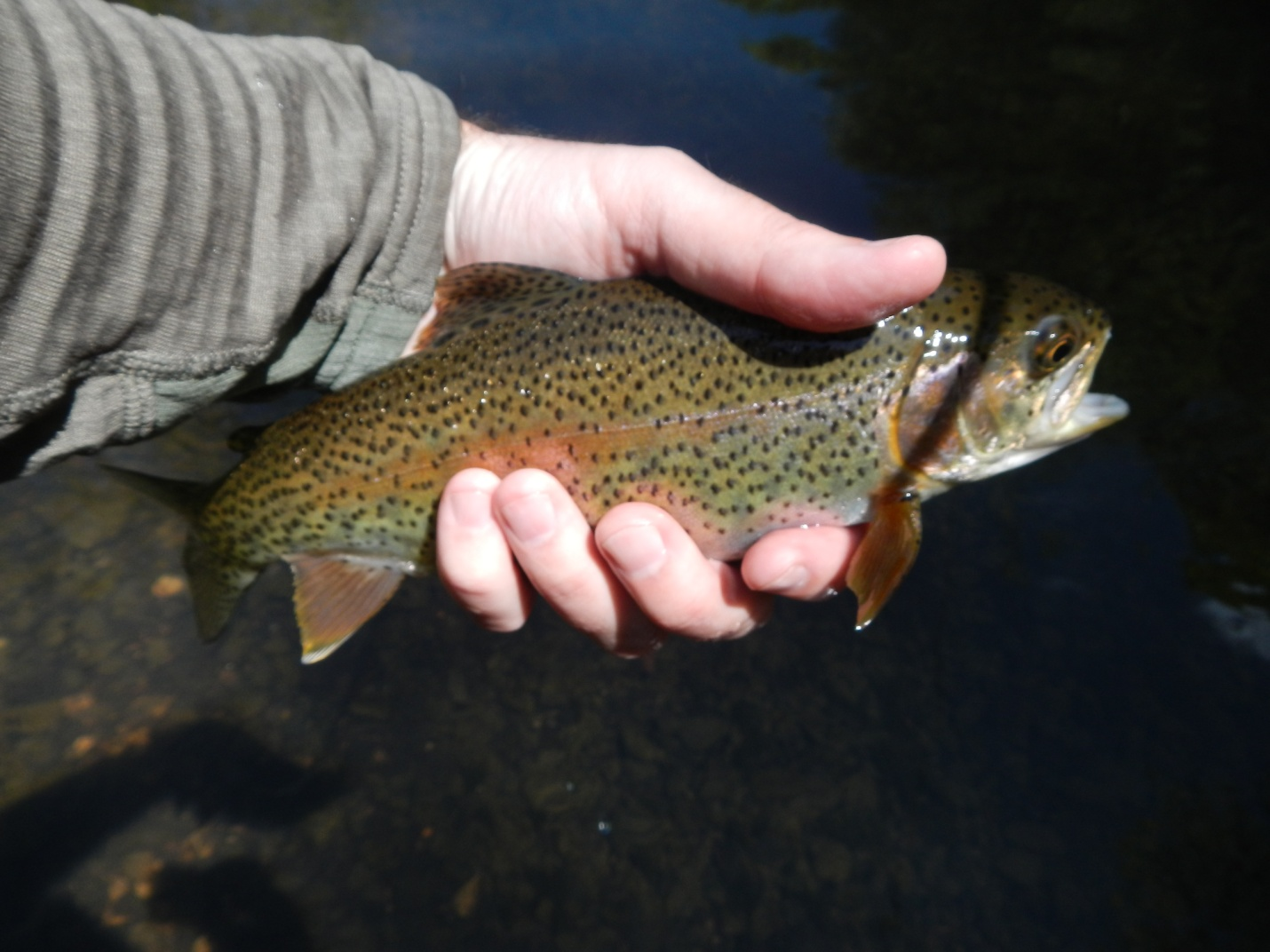 Fly fishing in north alabama huntsville outdoors for Fish in alabama